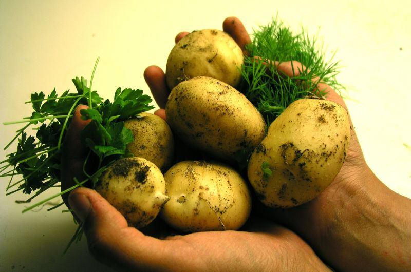 Home grown potatoes - private garden
